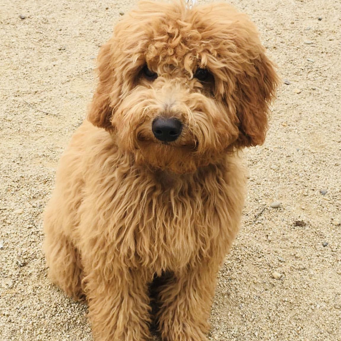 Goldendoodle Puppies Goldendoole Pictures