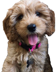 Rollins Goldendoodles- Northern California Goldendoodle Breeder