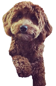 Goldendoodles, Puppies for Sale, california goldendoodles